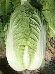 Mat riel v g tal r sultats d exp rimentations bio 2012 - Variete de salade d hiver ...