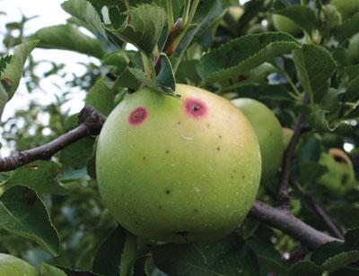 Dégâts de carpocapse sur pomme