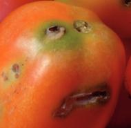 tomate-tutaabsoluta