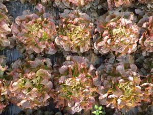 GRAB salade-bio 2016