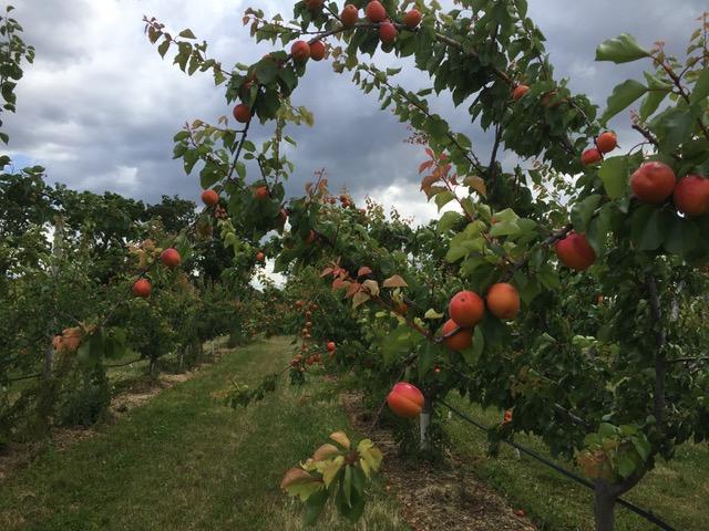 Abricots et pêches : dégustation et visite – 25 juin 2020