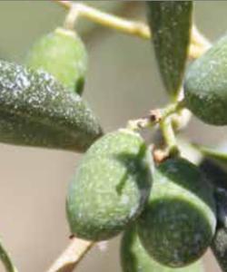 Démo pulvérisation d'argile / oliviers-amandiers