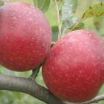 Visite de verger de pomme Garance